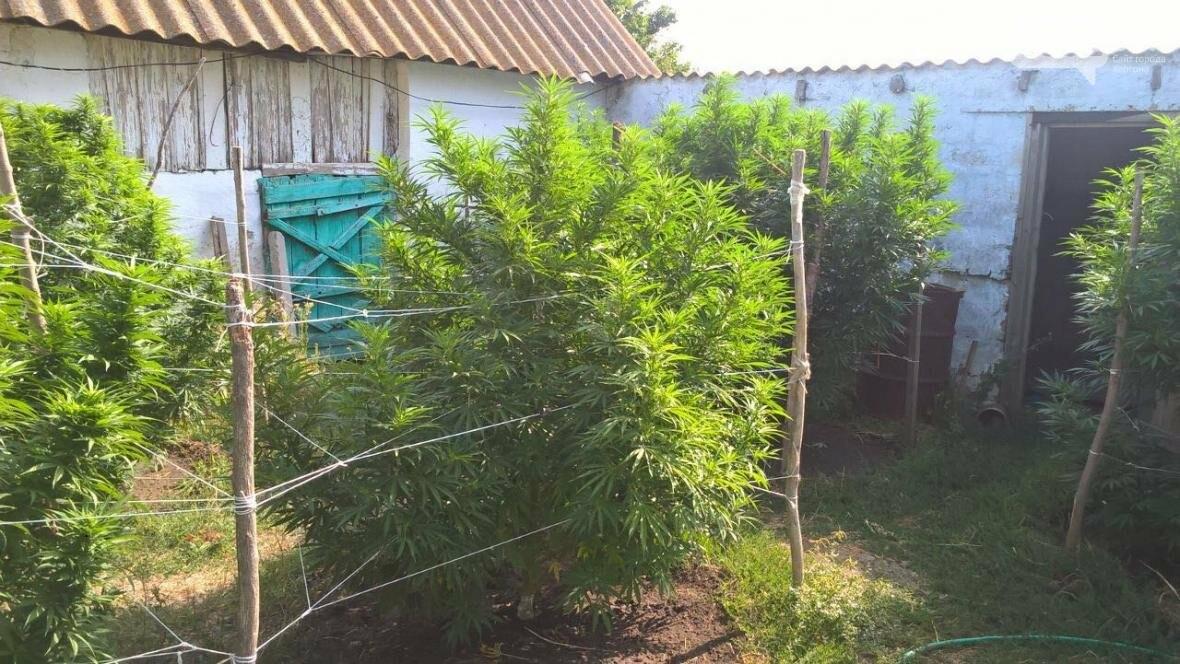 Наркотичну плантацію на мільйон виявили на Херсонщині (відео), фото-2