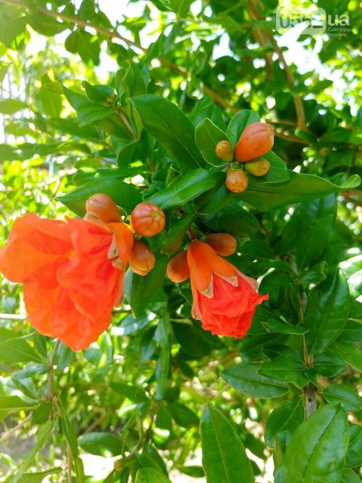 На Херсонщине расцвели экзотические гранаты: к осени ожидается приличный урожай , фото-2