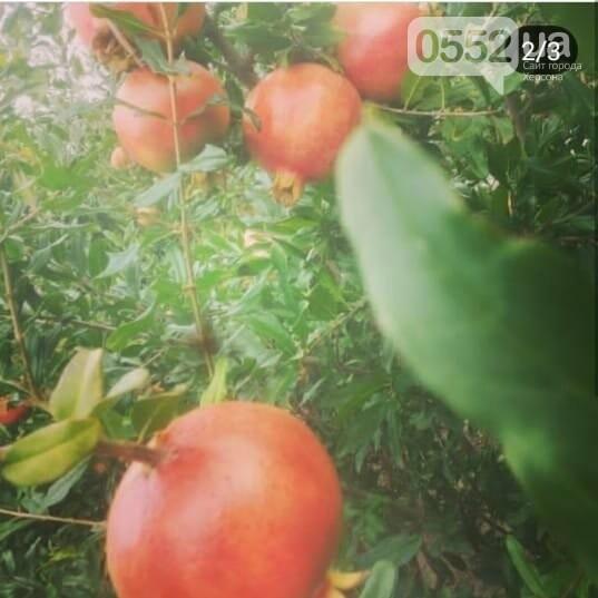 На Херсонщине расцвели экзотические гранаты: к осени ожидается приличный урожай , фото-4