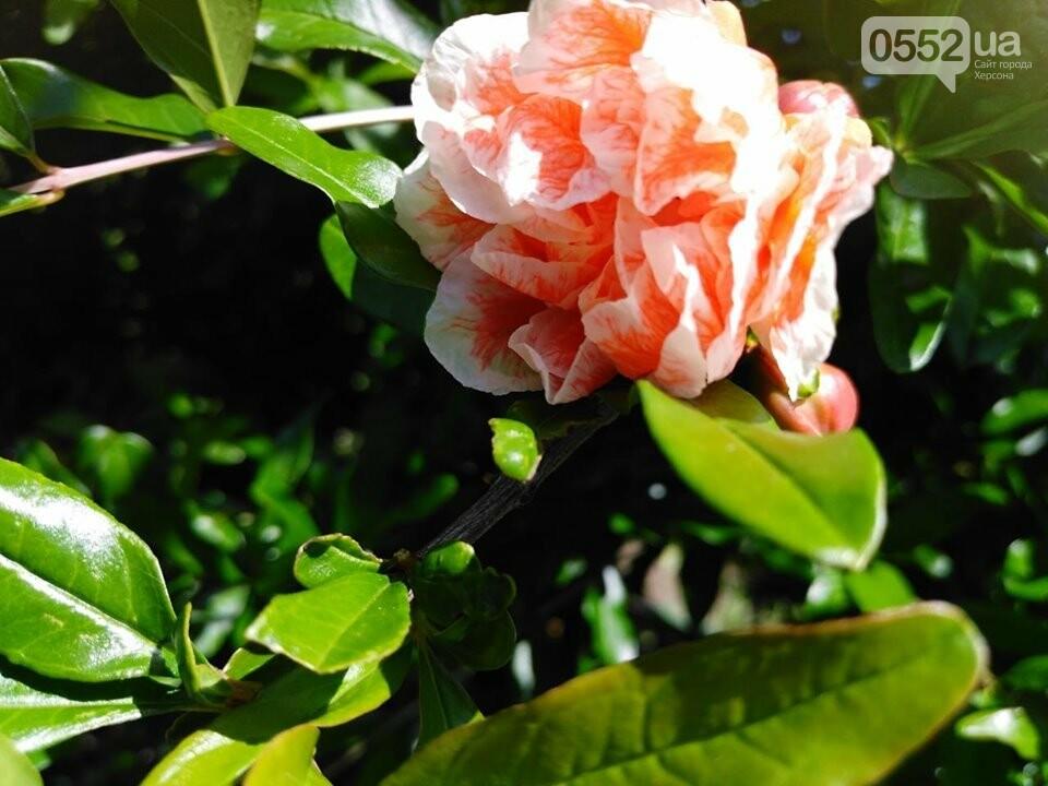 На Херсонщине расцвели экзотические гранаты: к осени ожидается приличный урожай , фото-1