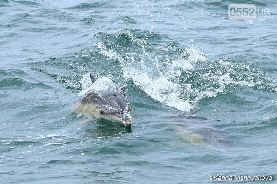 В акватории Черного моря на Херсонщине резко снизилось количество дельфинов, фото-3