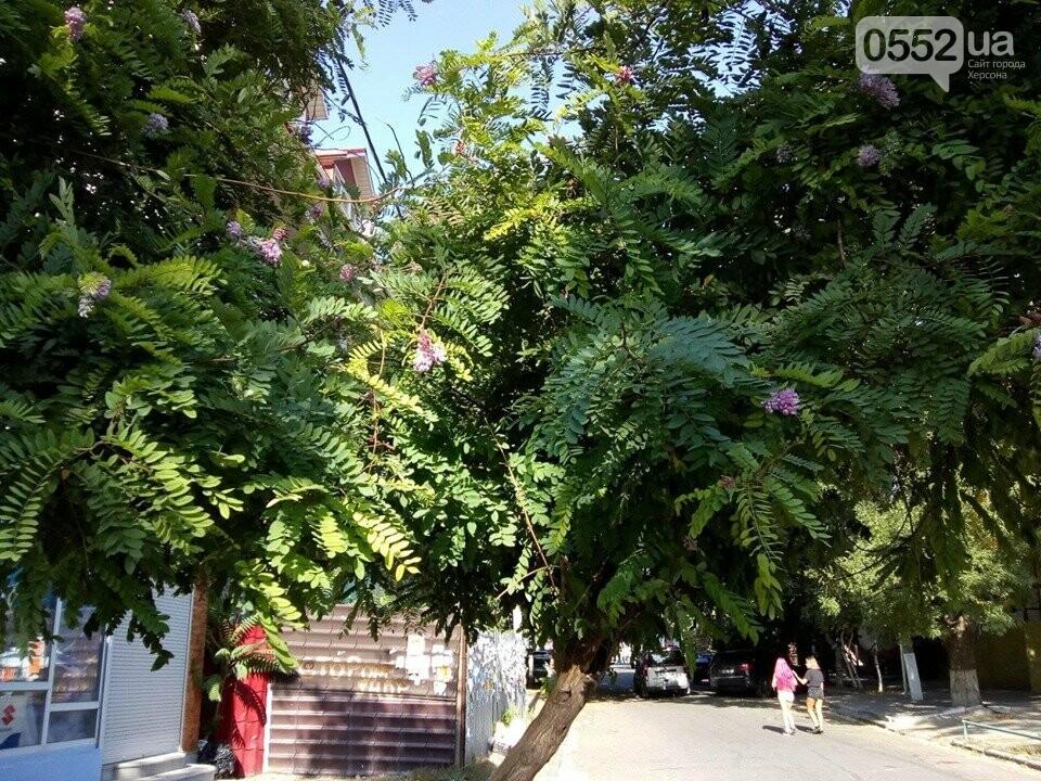 В Херсоне расцвела розовая акация: аномалия предвещает короткое «бабье лето», фото-2