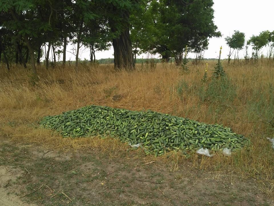 Херсонские фермеры выкинули огурцы из за низкой цены?, фото-1