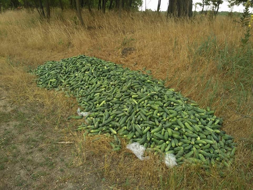 Херсонские фермеры выкинули огурцы из за низкой цены?, фото-2