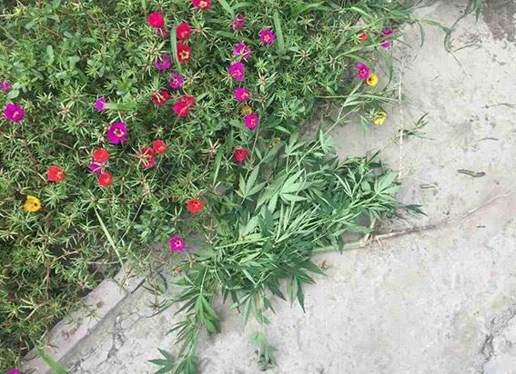 Херсонка выращивала элитные сорта конопли в цветочных горшках, фото-1