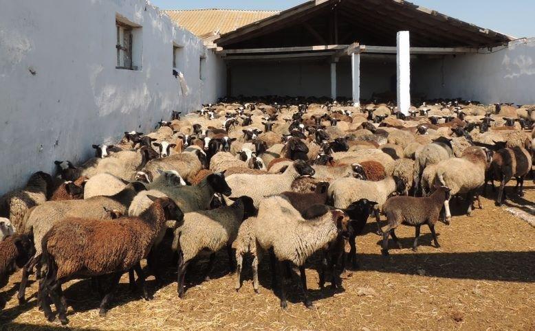 Херсонщина торгует овцами романовской породы, фото-1