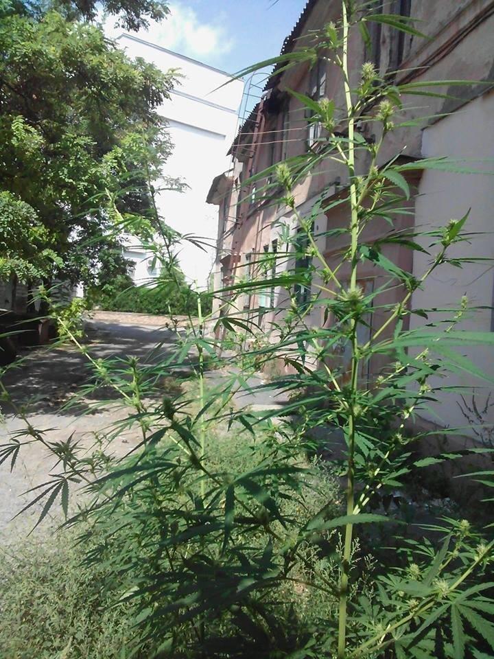В Херсоне возле прокуратуры растут наркотики?, фото-1