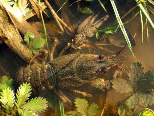 На Херсонщині триває заборона на вилов раків, фото-1