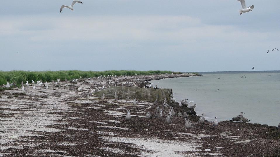 Побережье острова на Херсонщине усыпано мертвыми птицами, фото-4