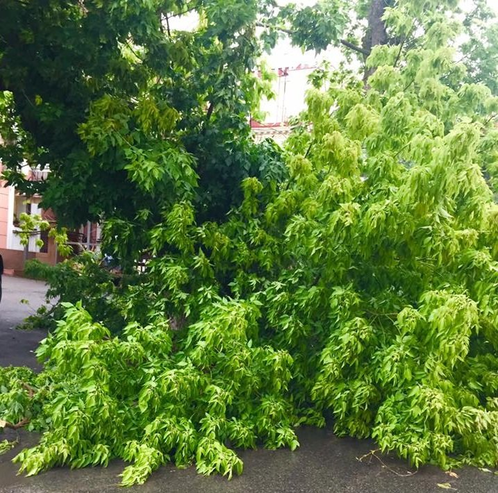 В центре Херсона рухнуло еще одно дерево